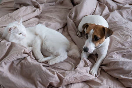 White fluffy cat and dog jack russell terrier lie in bed. Love between pets 写真素材