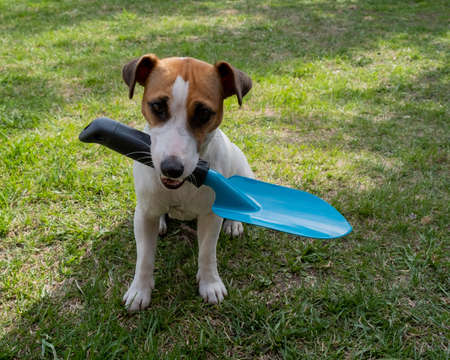The dog is holding a shovel tool. Jack russell terrier holds gardener tools and is engaged in farming 写真素材