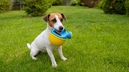 Dog Jack Russell Terrier stands on the lawn and holds a watering can