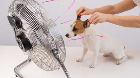 Jack Russell Terrier enjoys the cooling breeze from an electric fan on a white background. Woman holds dog ears for laughing