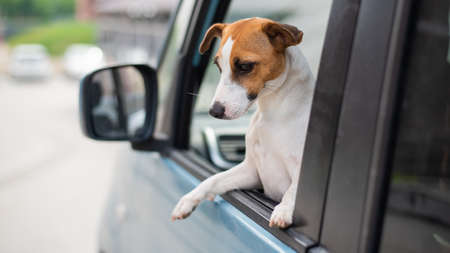 Jack russell terrier dog looks out of the car window. Traveling with a pet