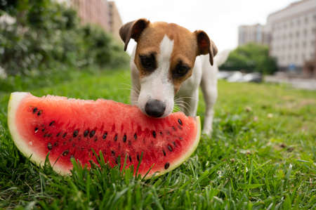 Jack russell terrier dog eating watermelon on the green lawn
