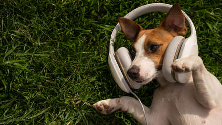 Dog jack russell terrier lies on a green lawn and listens to music on headphones. Stockfoto