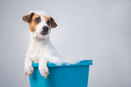 Funny friendly dog jack russell terrier takes a bath with foam on a white background Stockfoto