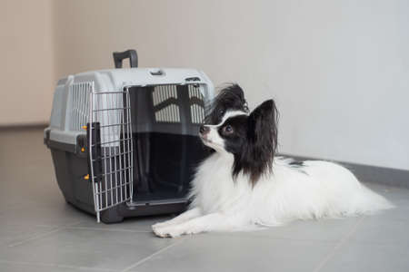 The papillon spaniel continental dog sits at the travel cage