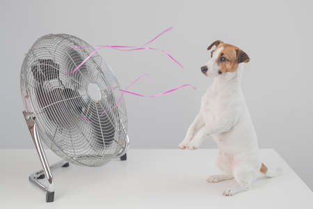 Jack russell terrier dog sits enjoying the cooling breeze from an electric fan on a white background. Stockfoto