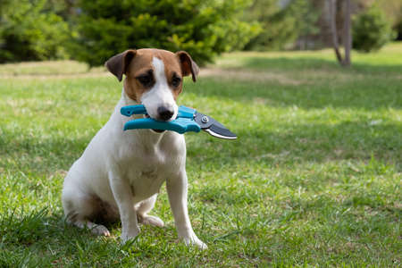 The dog is holding a pruner tool. Jack russell terrier holds gardener tools and is engaged in farming.