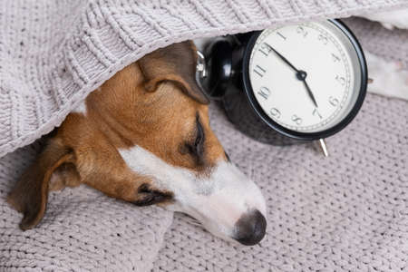 Dog jack russell terrier sleeps in an embrace with an alarm clock under a gray blanket.