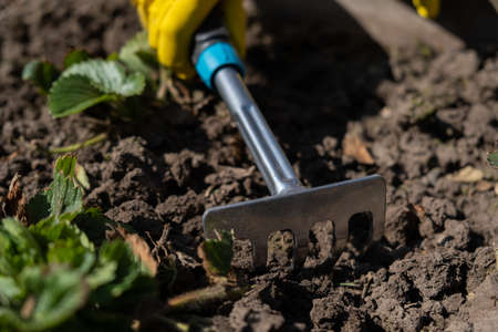 A gardener spuds strawberry beds with a rake. Stockfoto