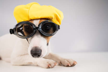 Portrait of jack russell terrier dog in diving goggles and pool cap on white background.
