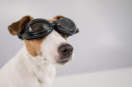 Portrait of dog jack russell terrier in goggles for snorkeling on a white background.