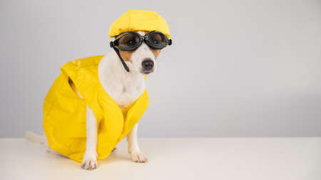 Portrait of jack russell terrier dog in life jacket with diving goggles and pool cap on white background.