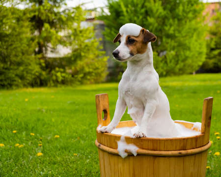 The dog is washed in a wooden tub outdoors. jack russell terrier take a bubble bath in the backyard lawn Stockfoto