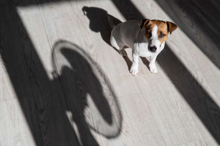 Jack russell terrier dog on the wooden floor. Shade from blinds and fan 写真素材