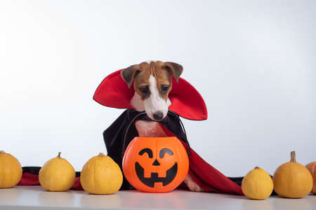 Dog in a vampire cloak and jack-o-lantern on a white background. Halloween Jack Russell Terrier in Count Dracula costume