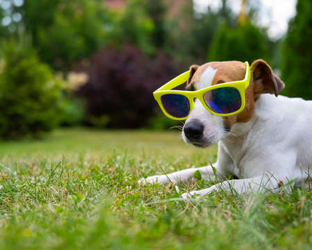 Jack russell terrier dog in sunglasses on green grass. Summer vacation concept.