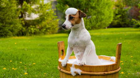 The dog is washed in a wooden tub outdoors. jack russell terrier take a bubble bath in the backyard lawn 写真素材