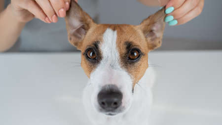 The woman holds the ears of the dog Jack Russell Terrier and pulls it in different directions