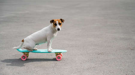 Jack russell terrier dog rides a penny board outdoors