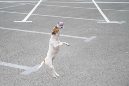 Jack russell terrier dog jumping for a rubber toy.