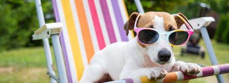 Jack russell terrier dog in sunglasses is resting on a sun lounger. Summer vacation concept.