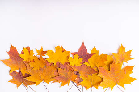 Fallen maple leaves on a white background with blank space. Autumn flat lay
