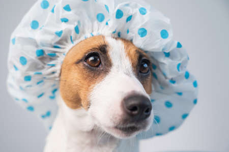 Funny friendly dog jack russell terrier takes a bath with foam in a shower cap on a white background. Copy space 写真素材