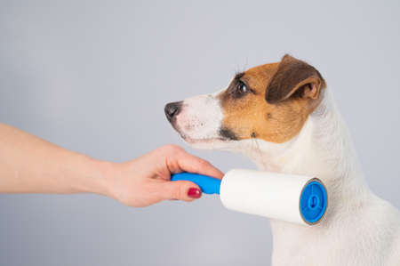 A woman uses a sticky roller to remove hair on a dog