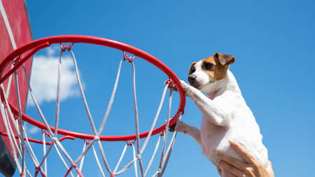 Bottom view of Jack Russell Terrier dog scoring a goal in a basketball basket against a blue sky background 写真素材