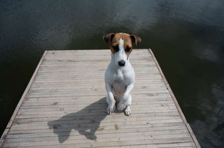 Sad dog jack russell terrier sits alone on the pier by the lake. 写真素材