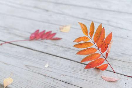 Red rowan leaf on wooden boards.