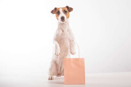 Portrait of dog jack russell terrier holding a pink paper bag in his mouth on a white background. Copy space.