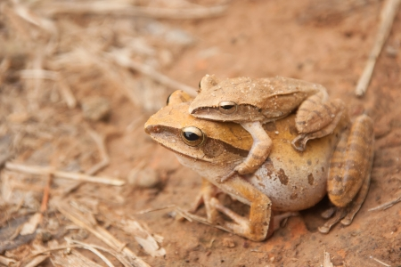 Tropical Frogs are mating in the season of rain  photo