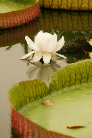 Victoria waterlily (Victoria amazonica) is  the largest of the Nymphaeaceae family of water lilies. It is the Giant Lotus photo