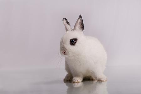 lagomorpha: A cute white dwarf rabbit with eyeshadow form, the breed