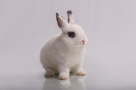 leporidae: A cute white dwarf rabbit with eyeshadow form, the breed