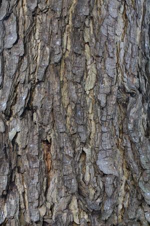 samanea saman: Skin Tree Texture background of Rain tree  Samanea saman Jacq Merr  Stock Photo