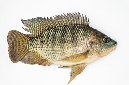The white background of tilapia 스톡 콘텐츠