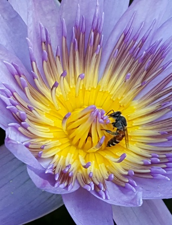 up: Close up of lotus flower with bee