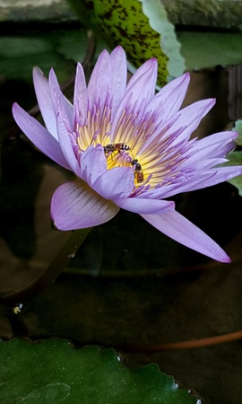 up: Close up of lotus flower with 2 bee