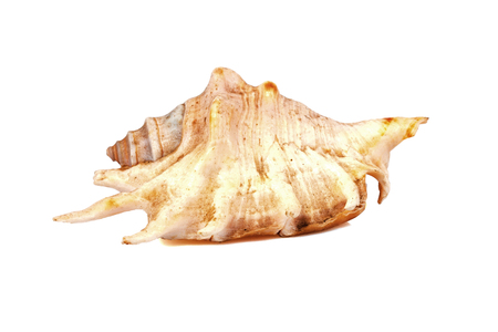 murex shell: Seashell on a white background for isolation