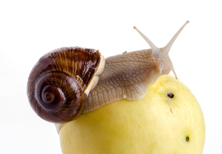 Garden snail on an apple with a white background