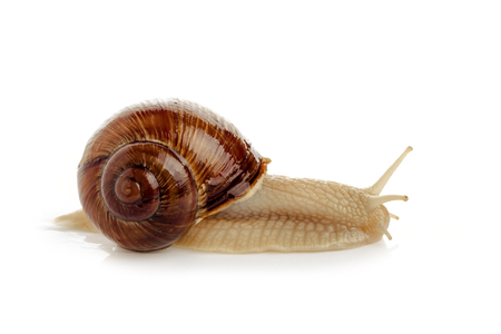 Snail on white background for isolation Stock Photo