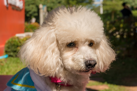 old sad white poodle looking for someone
