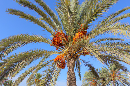 date palm tree: Date palm tree. Bunch of fruit