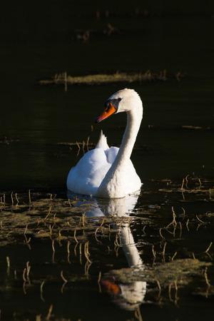 vetical: Cisne blanco flotando en la superficie oscura del estanque. Contraste blanco y negro