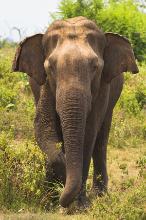 plains indian: Elephant stands in front and tearing trunk grass, Sri Lanka, Ceylon, Uda Walawe national park