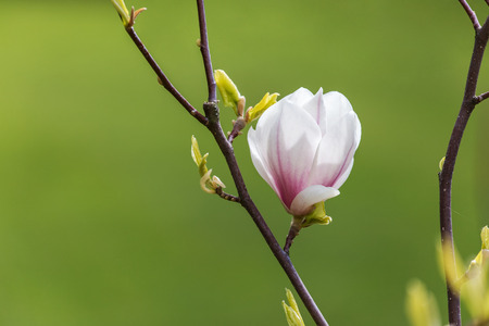 magnolia branch: Blossom magnolia branch with green soft focus background