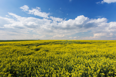 questionable: Rape field. Yellow flowers in daylight, cloudy blue sky. Rapeseed cultivation, an ingredient in biofuels. Questionable environmental benefit.