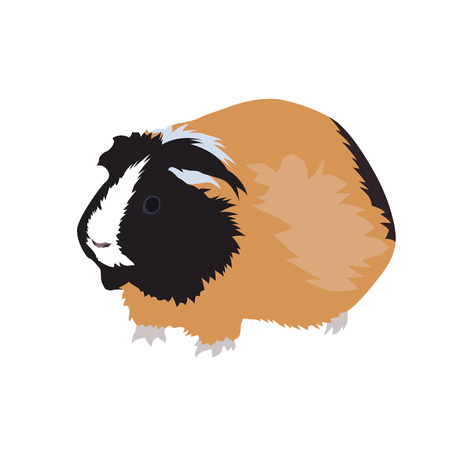 Guinea pig, pet illustration on white background.